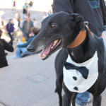 Greyhound in a tuxedo
