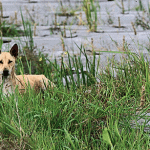Bali dog in rice fields