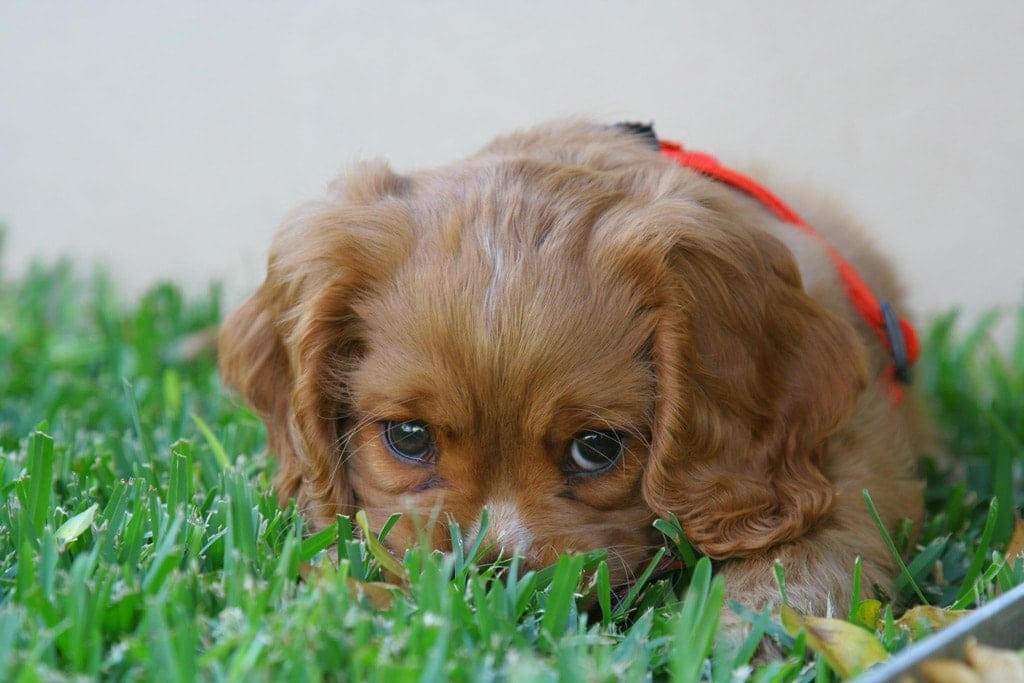 Puppy eating grass: Vomiting in dogs