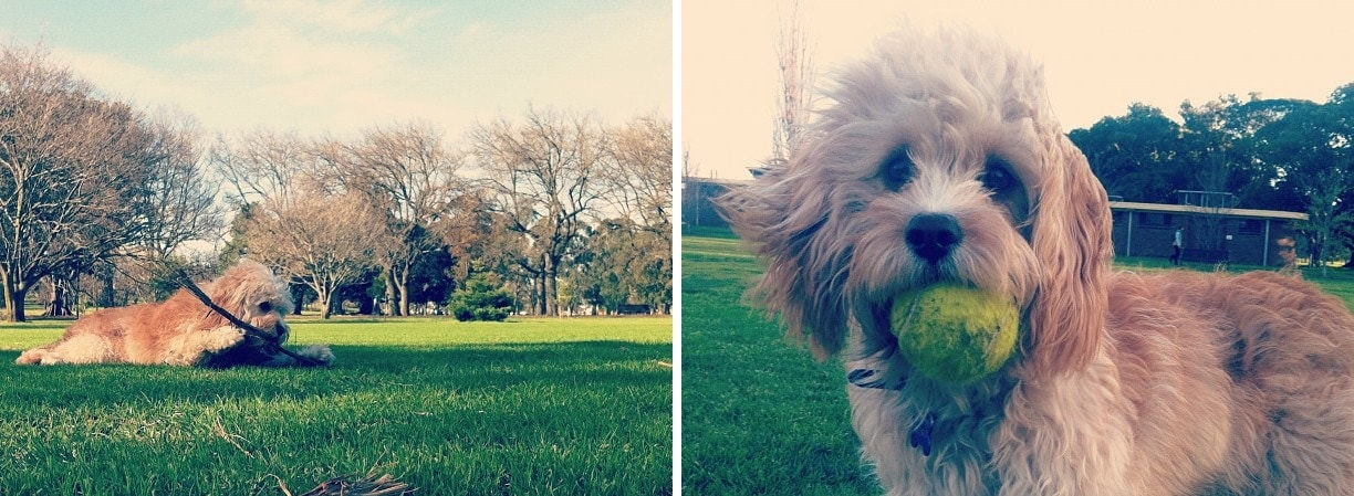 Toby the Cavoodle at the Park