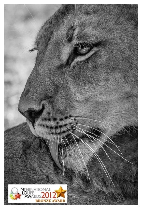 Award Winning Photographer Wildlife Lion