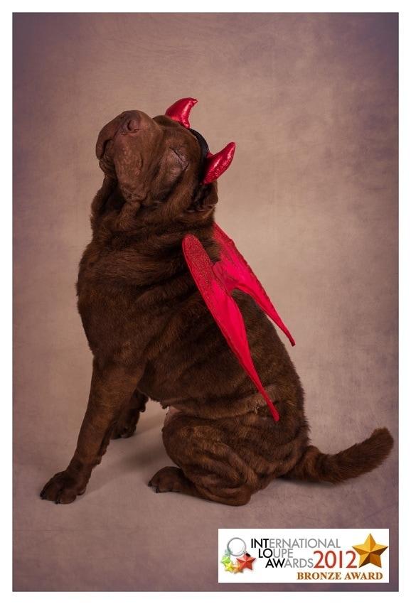Shar Pei Award Winning Dog Photographer