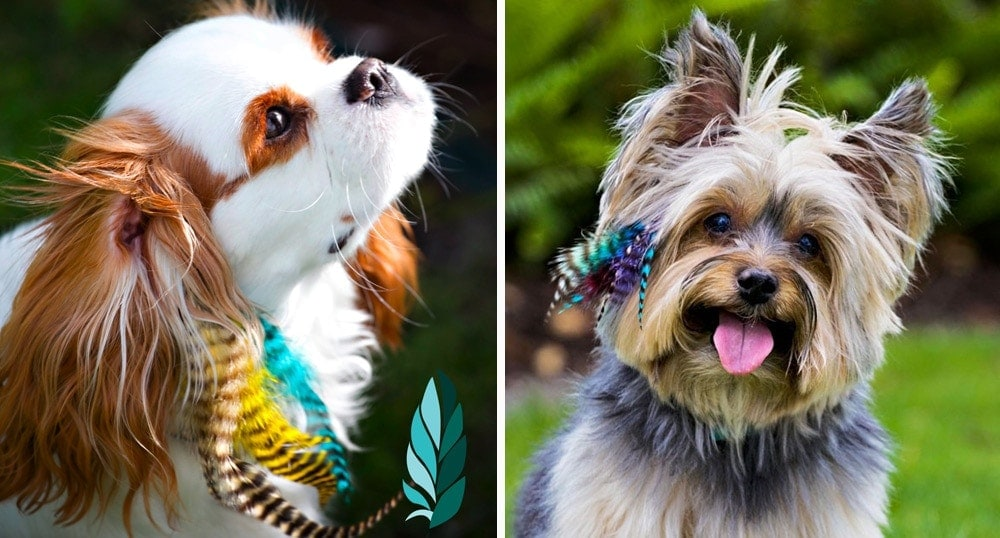 Puppylocks feather extensions for dogs