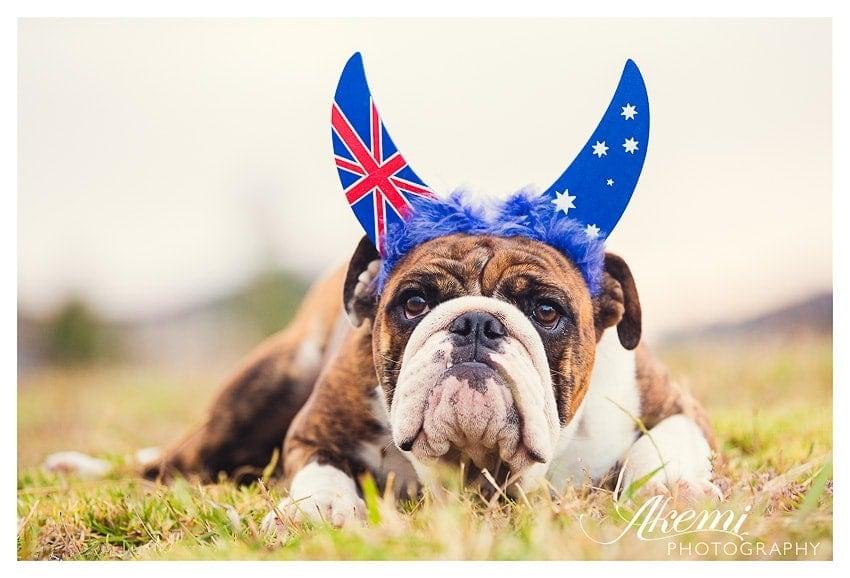 australian-bulldog-cross-pippa-showing-the-joy-this-australia-day