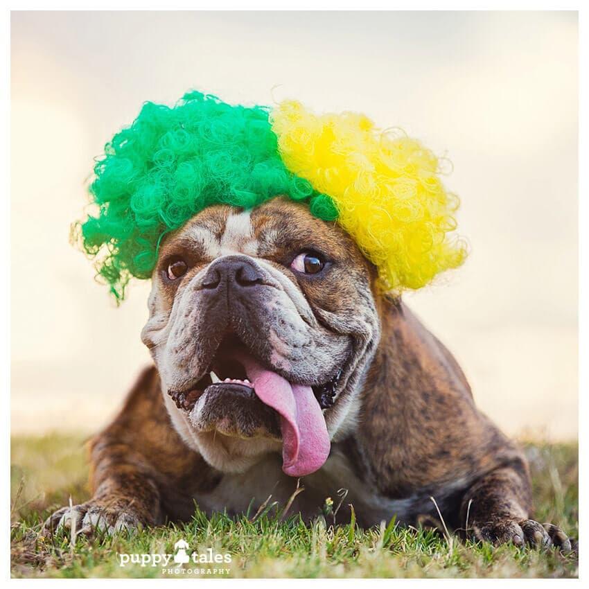 australian-bulldog-dougie-celebrates-australia-day