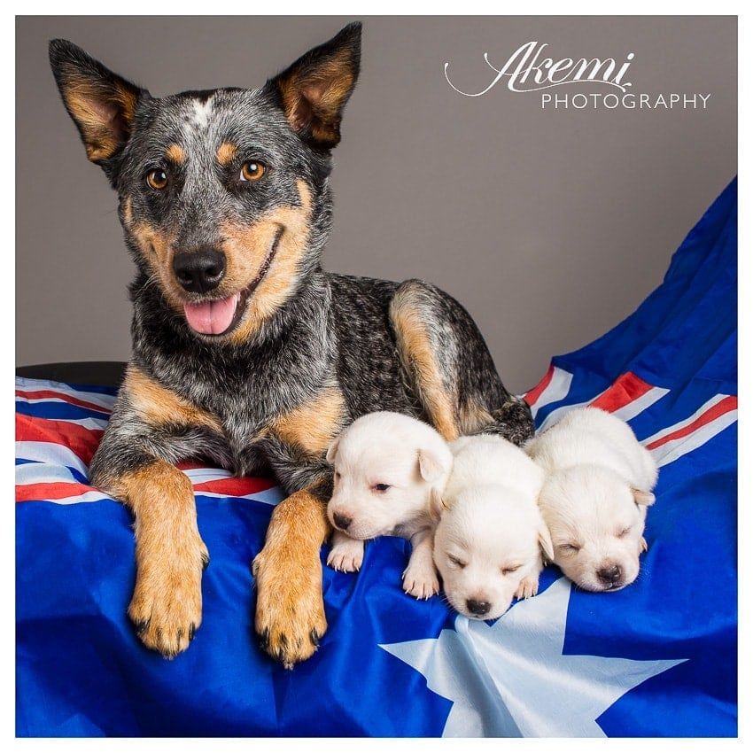 australian-cattle-dog-and-puppies-photographed-in-melbourne-studio