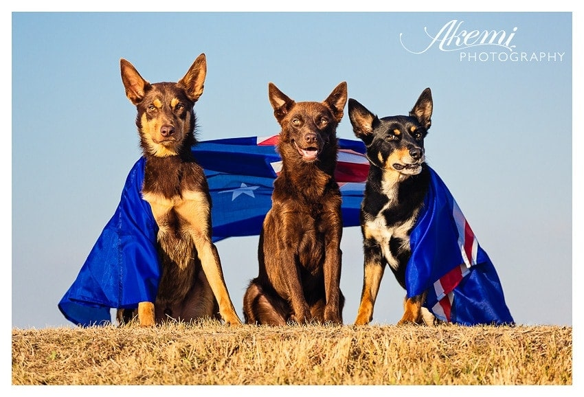 kelpies-wrapped-in-an-australian-flag-for-australia-day