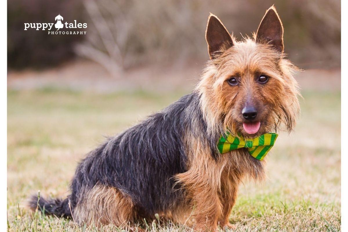 australian-terrier-wearing-australia-day-bowtie