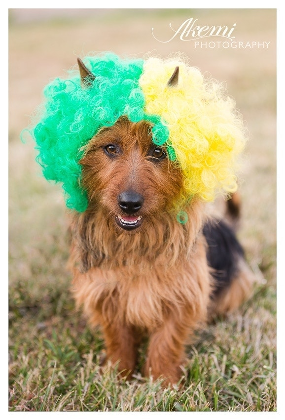 australian-terrier-wears-a-green-and-gold-wig-for-australia-day