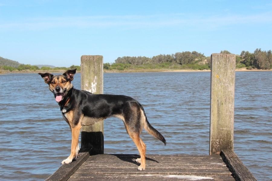 Kate the Kelpie on a pier