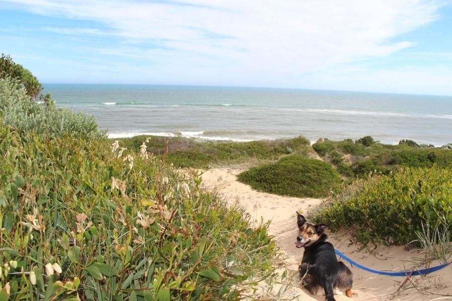 Kate the Kelpie in sand dunes