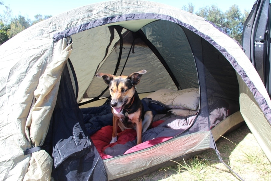 Kate the Kelpie at a camp site