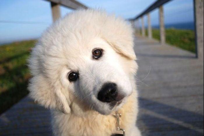 maremma_puppy