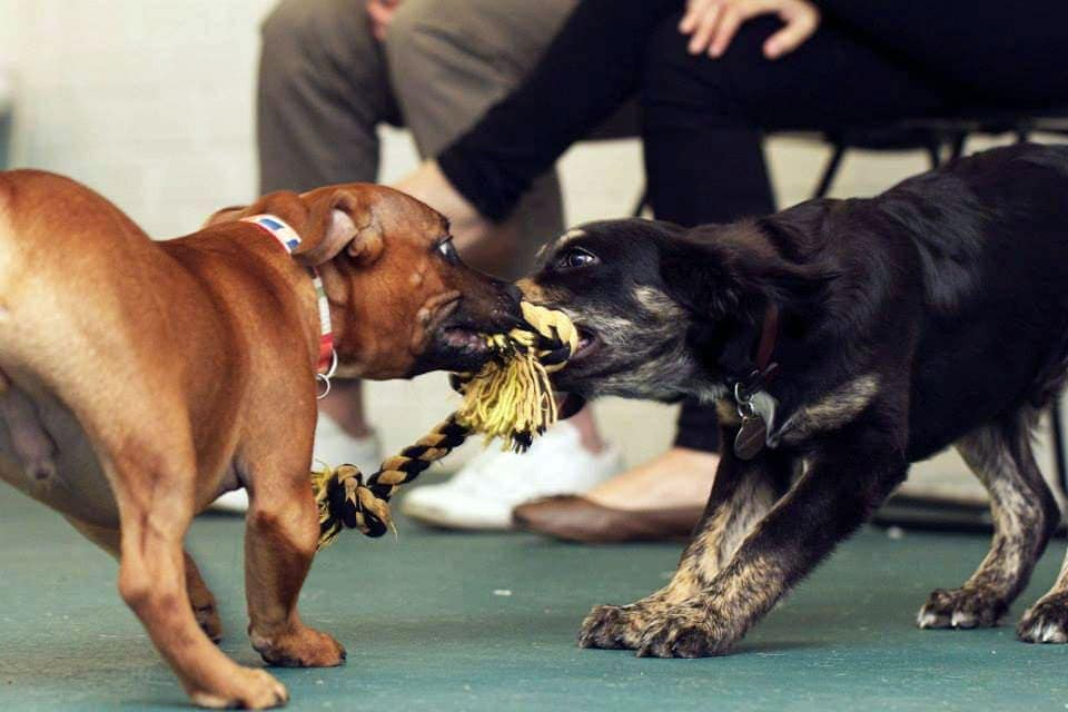 Tug-o-war at puppy preschool