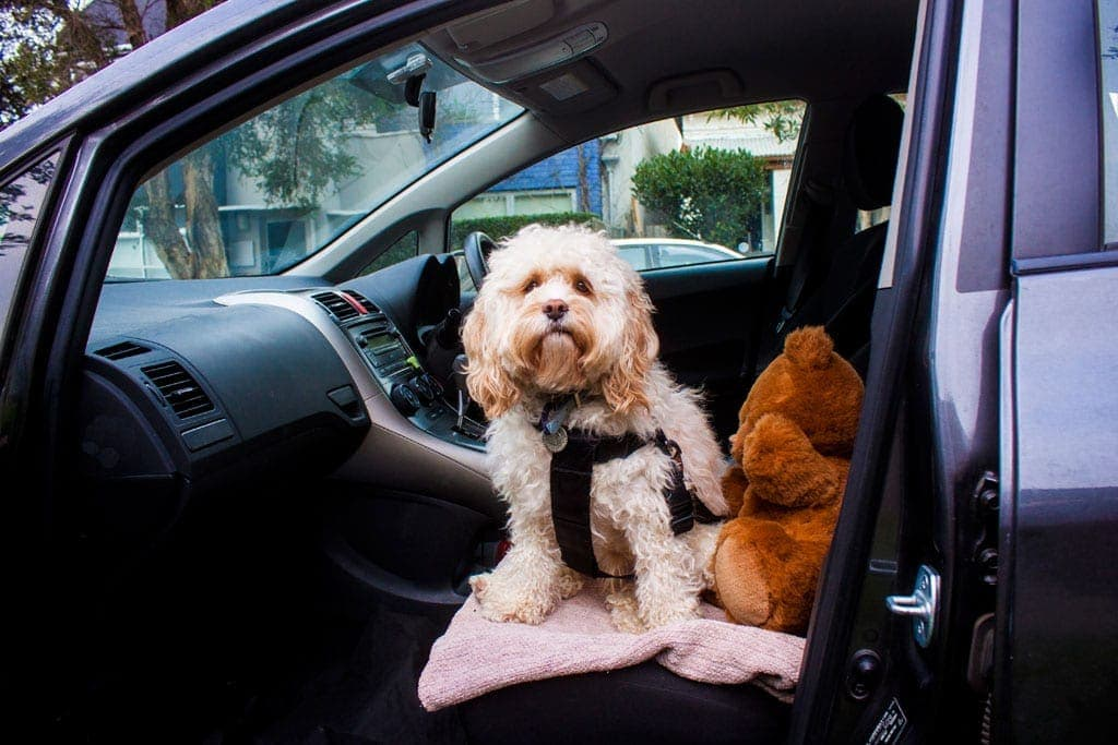 Dog sitting in car for road trip