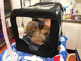 Dog in oxygen tent