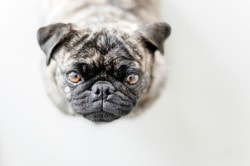 pug_feature