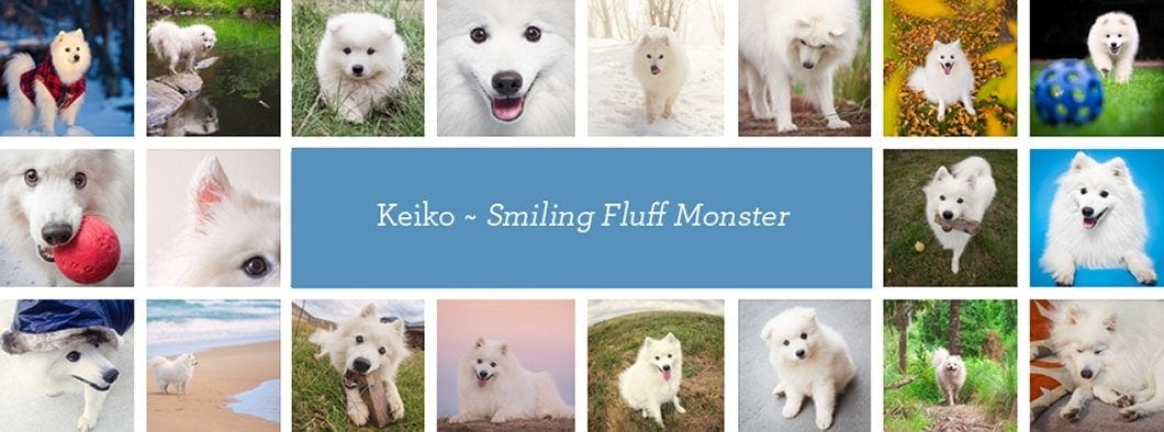 Japanese Spitz Keiko - the Smiling Fluff Monster