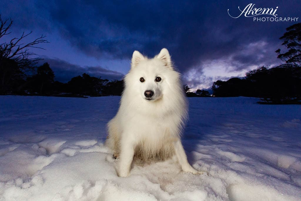 japanese-spitz-dog-on-holiday-at-the-snow