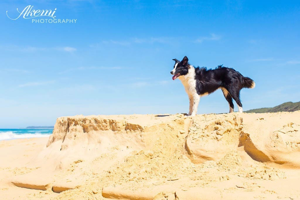 border-collie-dog-on-the-beach