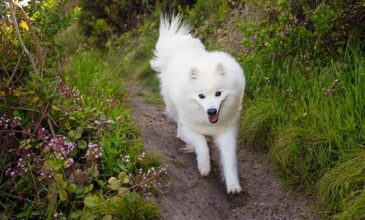 japanese-spitz-keiko-is-a-happy-dog