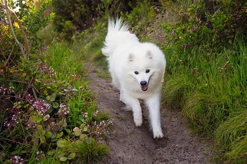 japanese-spitz-keiko-is-a-happy-dog
