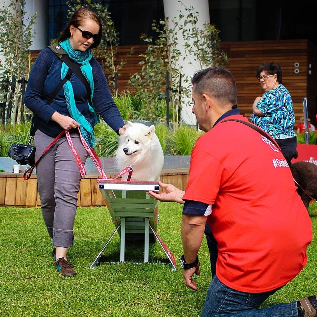 japanese-spitz-at-the-medibank-day-with-the-bondi-vet