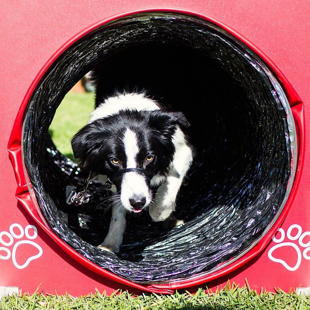 border-collie-rosie-on-the-agility-course