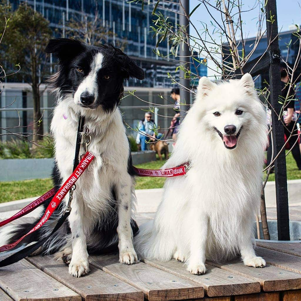 border-collie-rosie-and-japanese-spitz-keiko-together