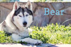 siberian-husky-bear-feature-image