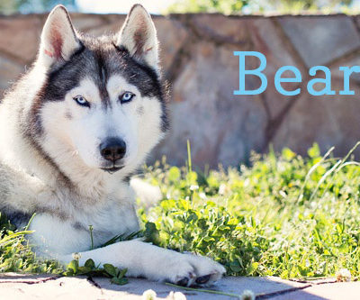 siberian-husky-bear-feature-image