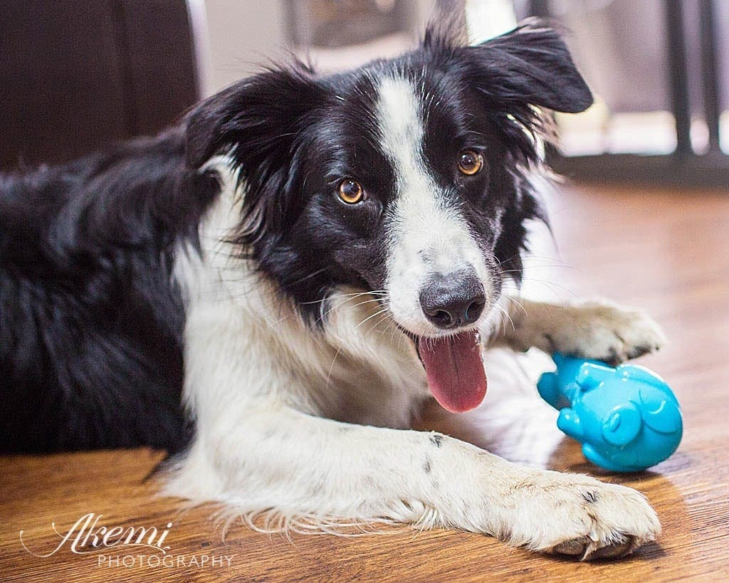Border Collie Rosie with the Rufus & Coco Junior Toy