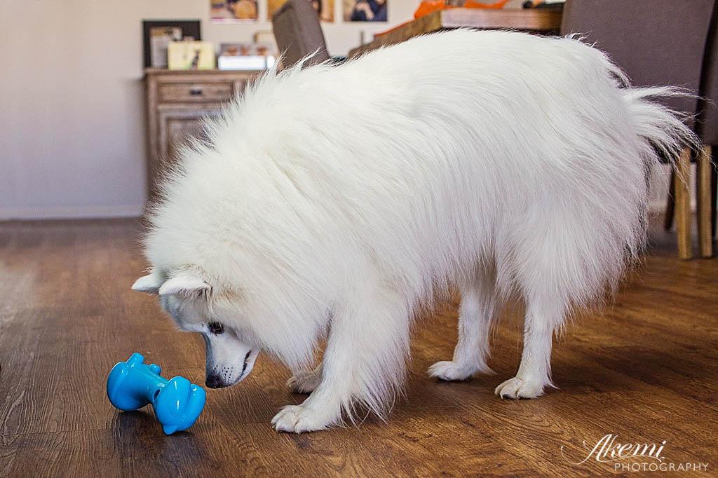 Japanese Spitz Keiko testing the Rufus & Coco Toy