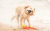 golden-retriever-at-the-beach-doing-a-crazy-shake