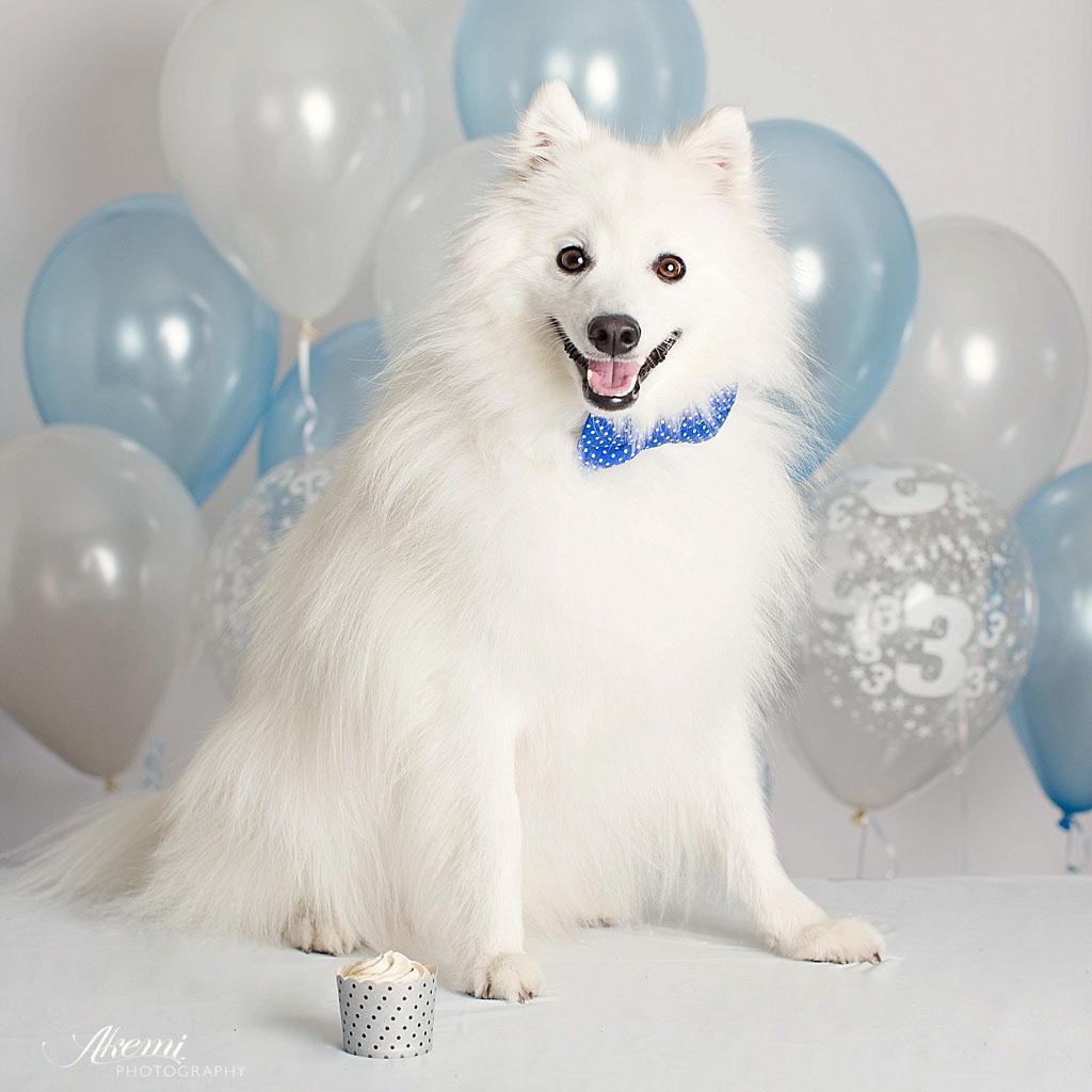 Japanese-spitz-keiko-dog-birthday-party