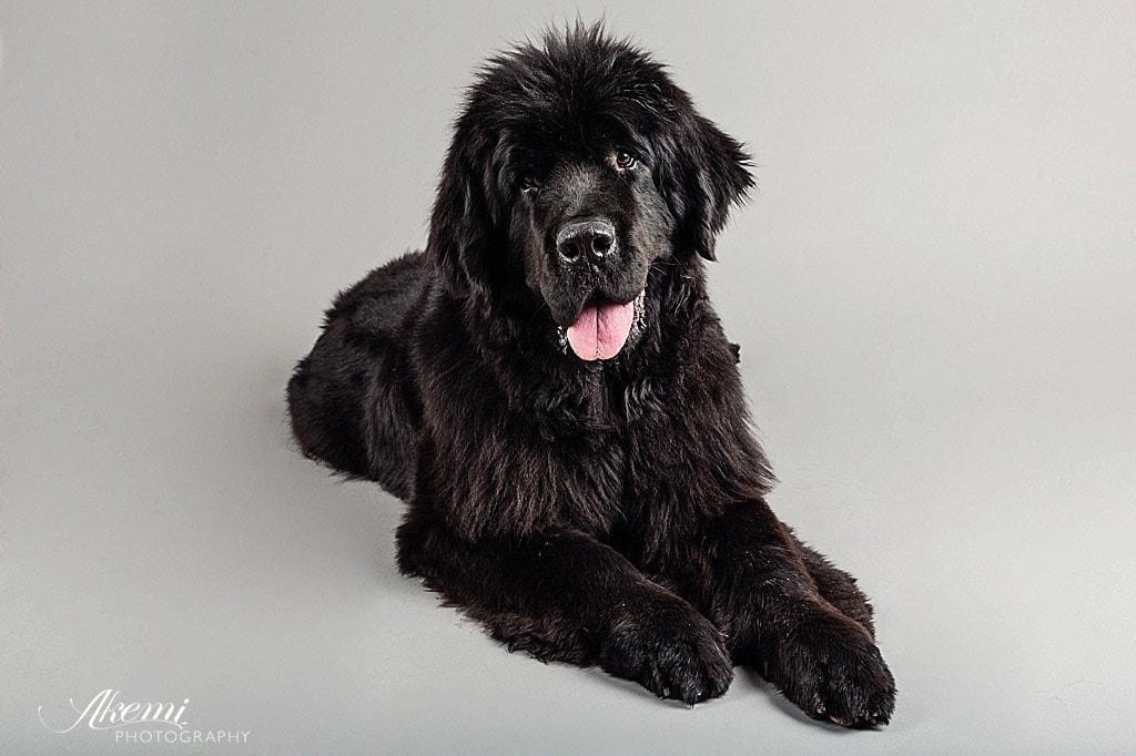 Newfoundland-dog-in-studio-portrait-session
