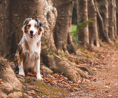 meet-australian-shepherd-dog-barkley
