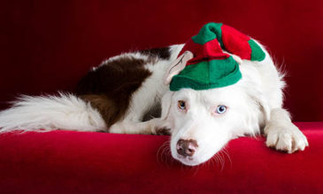 Border Collie ready and waiting for Christmas