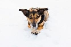 Kelpie Kate at the Snow