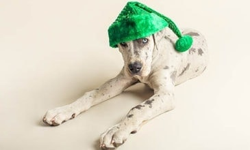 Great Dane Puppy dressed up as Santa Paws