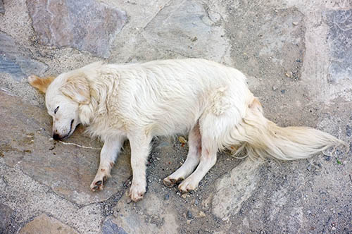 First Aid for Dogs - Seizure