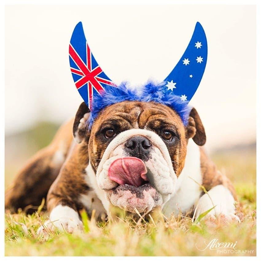 Sweet six month old Australian Bulldog Puppy Pippa