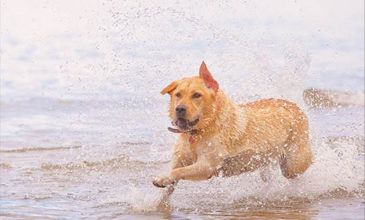 Labrador Running along the Beach