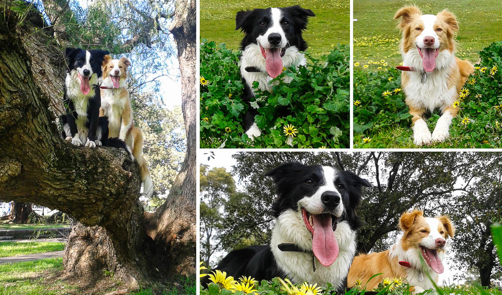 Meet Holly & Ace - Australias Smartest Dogs