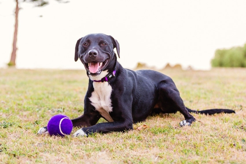 Tux the Border Collie Cross loves to play ball