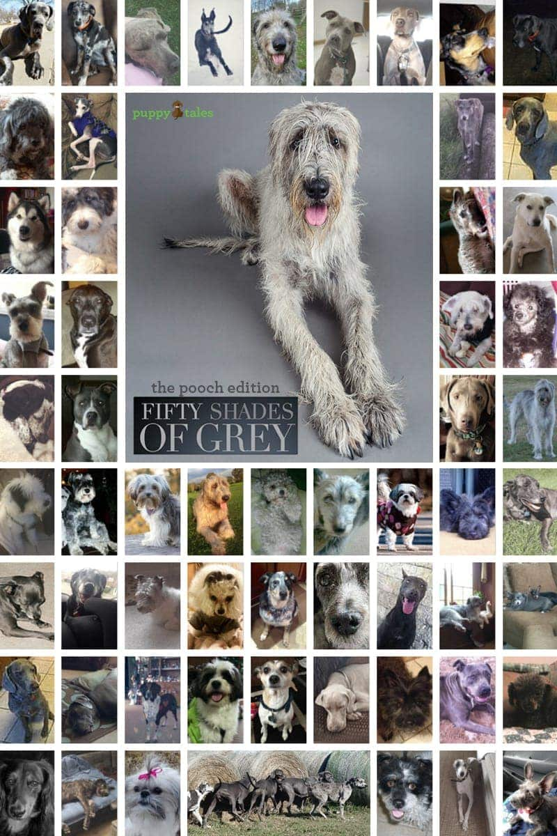 50 Shades of Grey ~ The Pooch Edition on Puppy Tales!