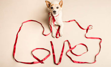 Terrier posing for Valentines Day