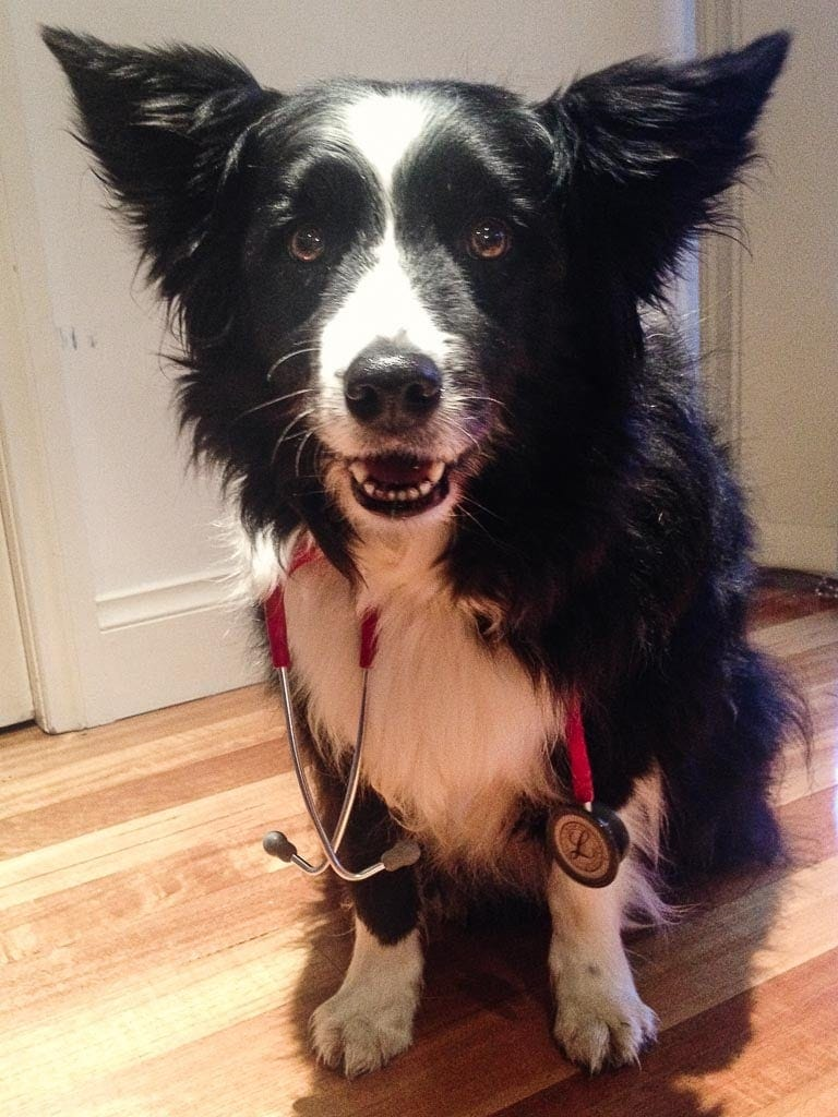 Border Collie with stethoscope
