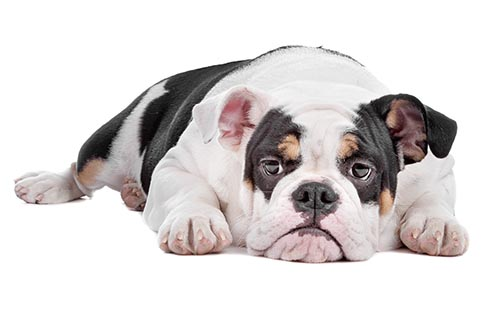 Canine Obsesity ~ And How to Avoid Your Dog Passing Away Before It's Time