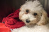 puppy-tales-desexing-your-dog-feature-2
